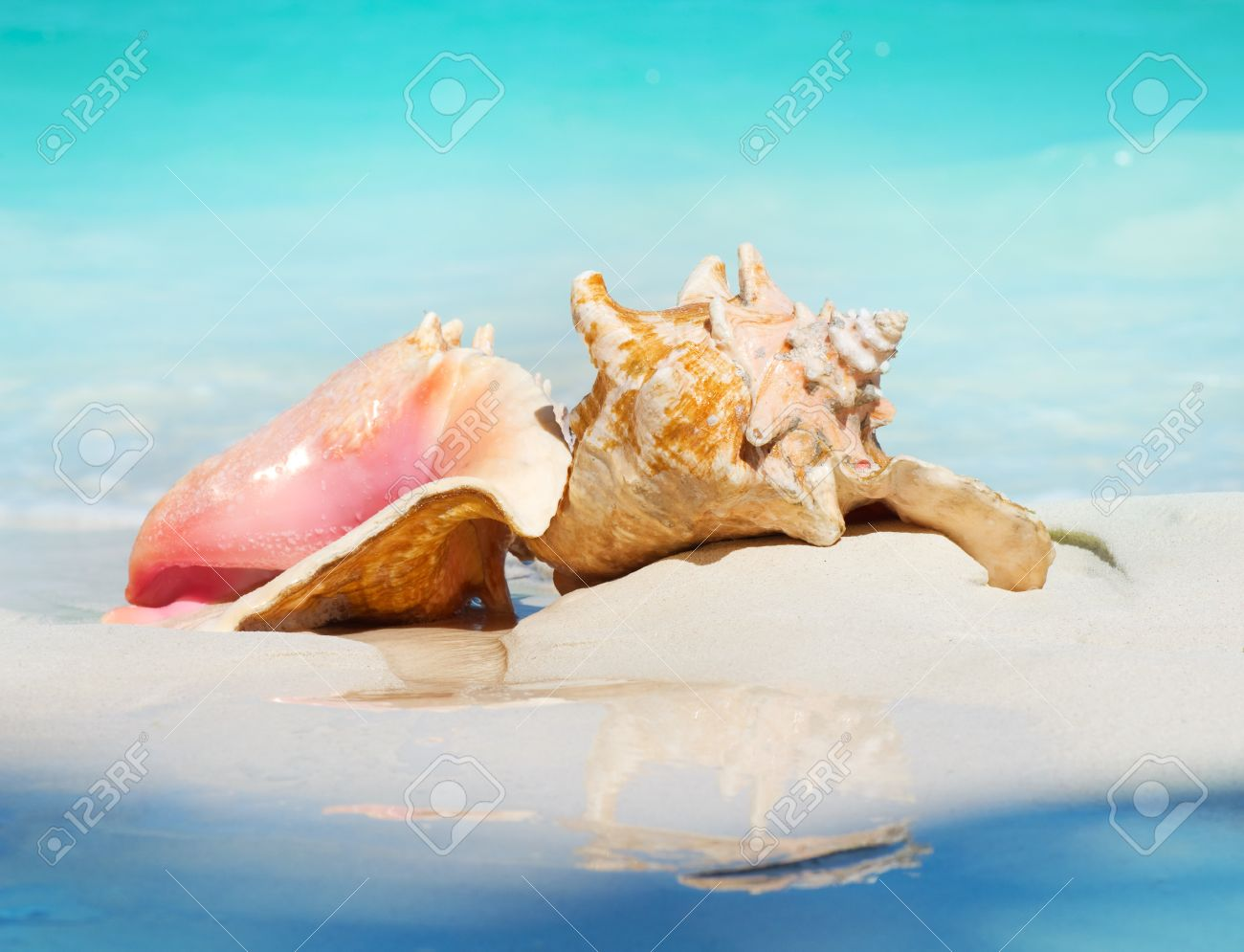 Conch Stock Photos Royalty Free Conch Images