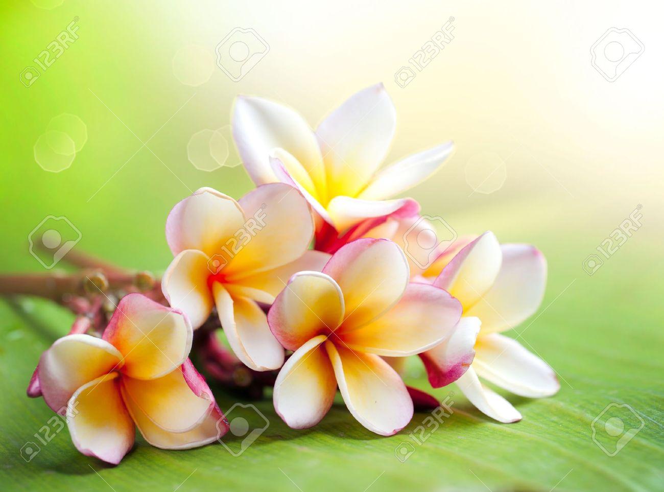 Frangipani Tropical Spa Flower  Plumeria  Shallow DOF Stock Photo - 14193538