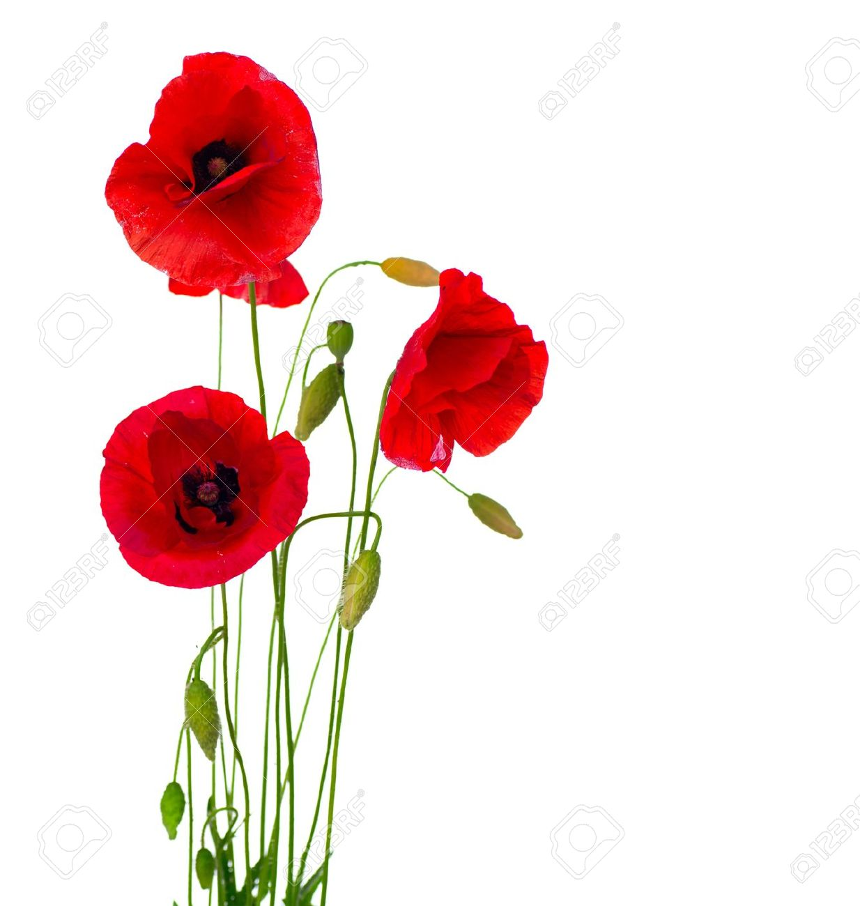 Red Poppy Flower Isolated on a White Background Stock Photo - 14306290