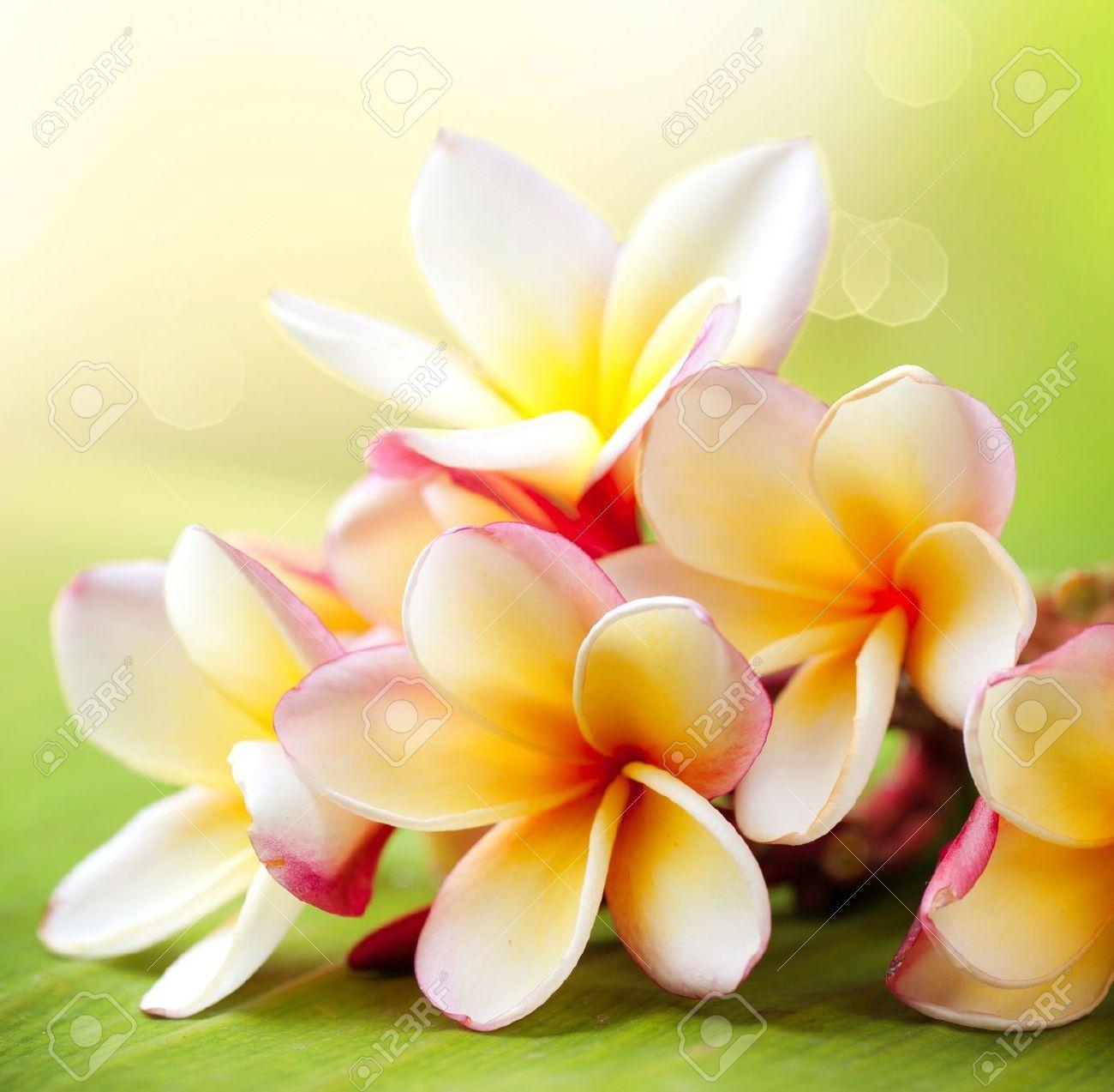 Frangipani Tropical Spa Flower  Plumeria Stock Photo - 14738424