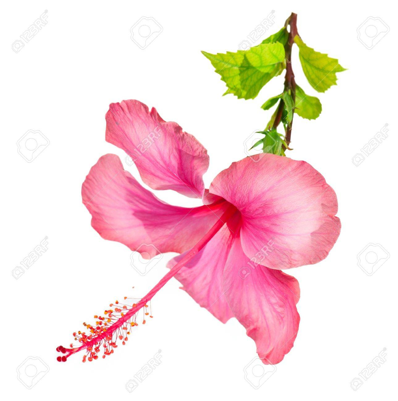 Hibiscus Flower Stock Photo - 15501047