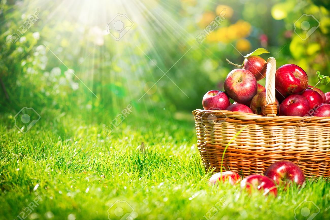Organic Apples in the Basket  Orchard  Garden Stock Photo - 15501071