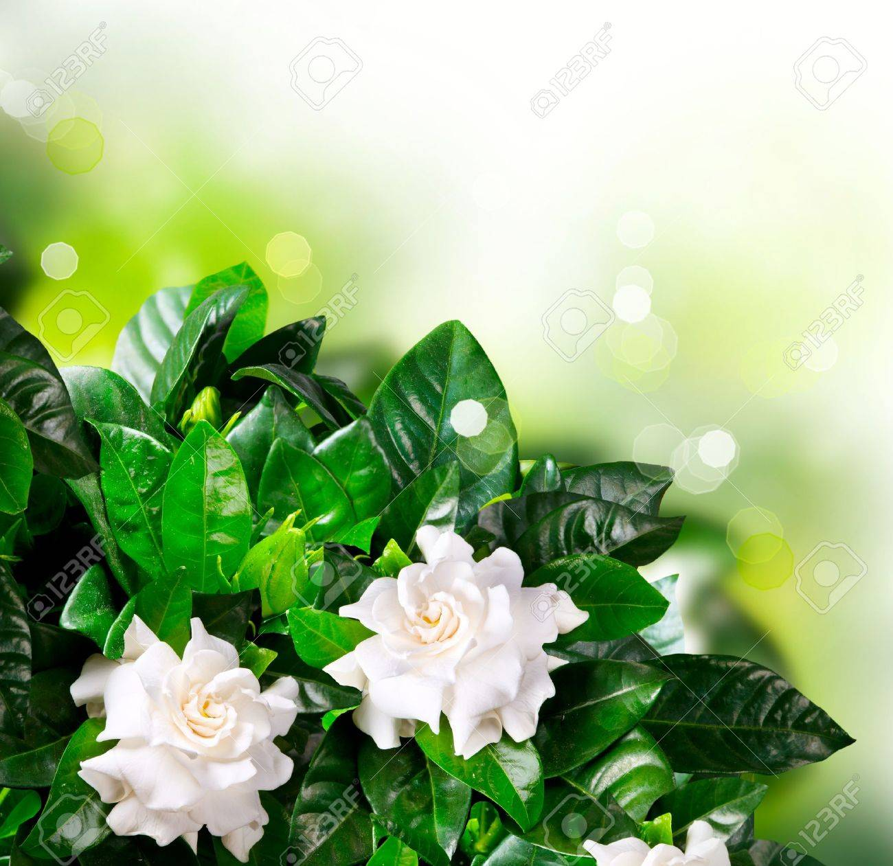 Gardenia Flowers Jasmine Stock Photo Picture And Royalty Free Image