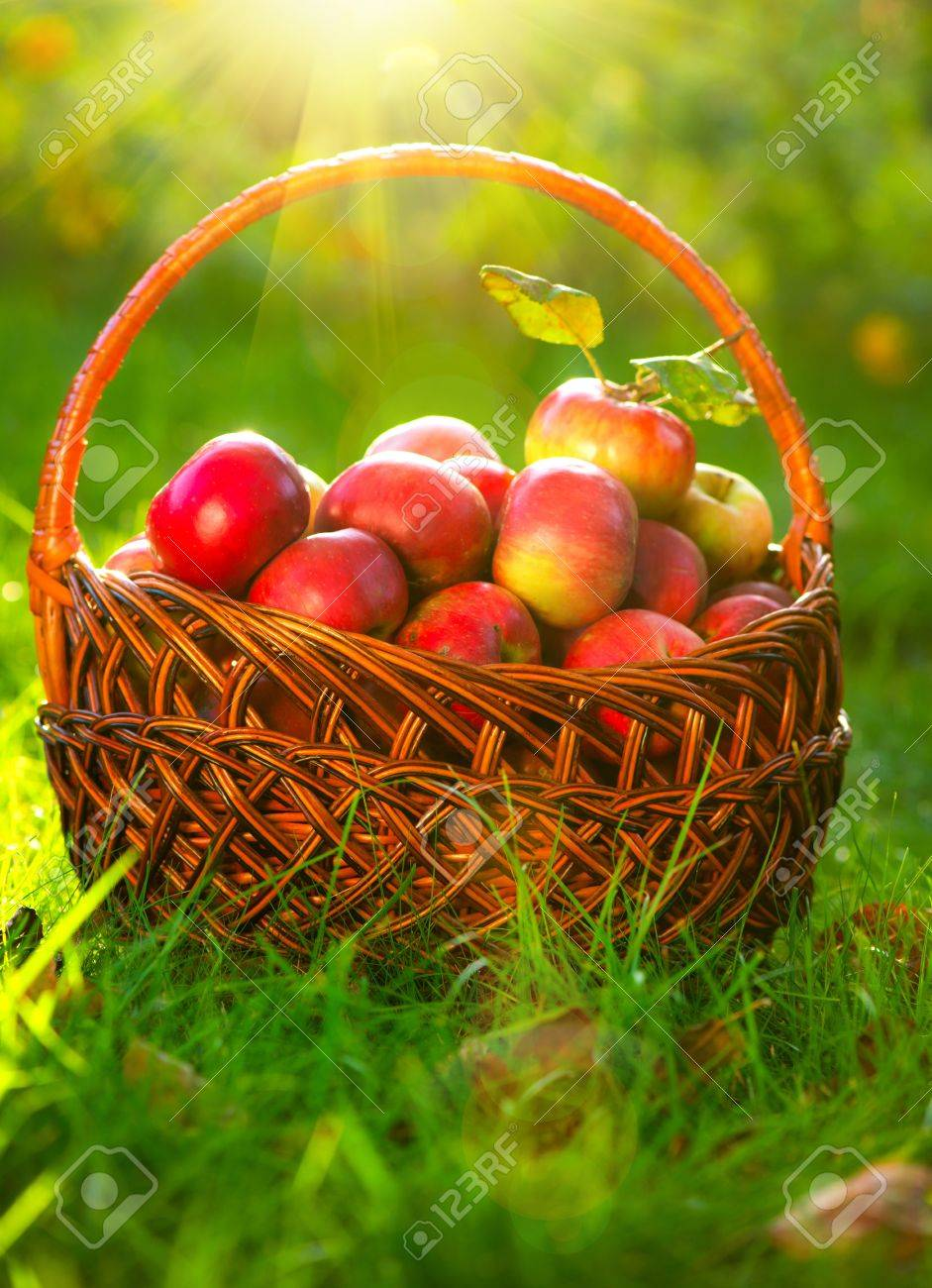 Organic Apples in the Basket  Orchard  Garden Stock Photo - 15660980