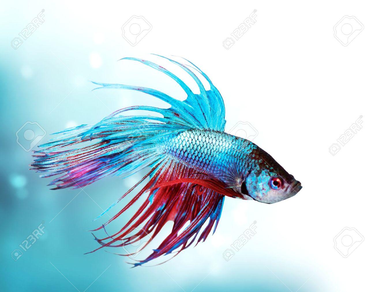 Colorful Betta Fish closeup  Dragon Fish  Aquarium Stock Photo - 15772431