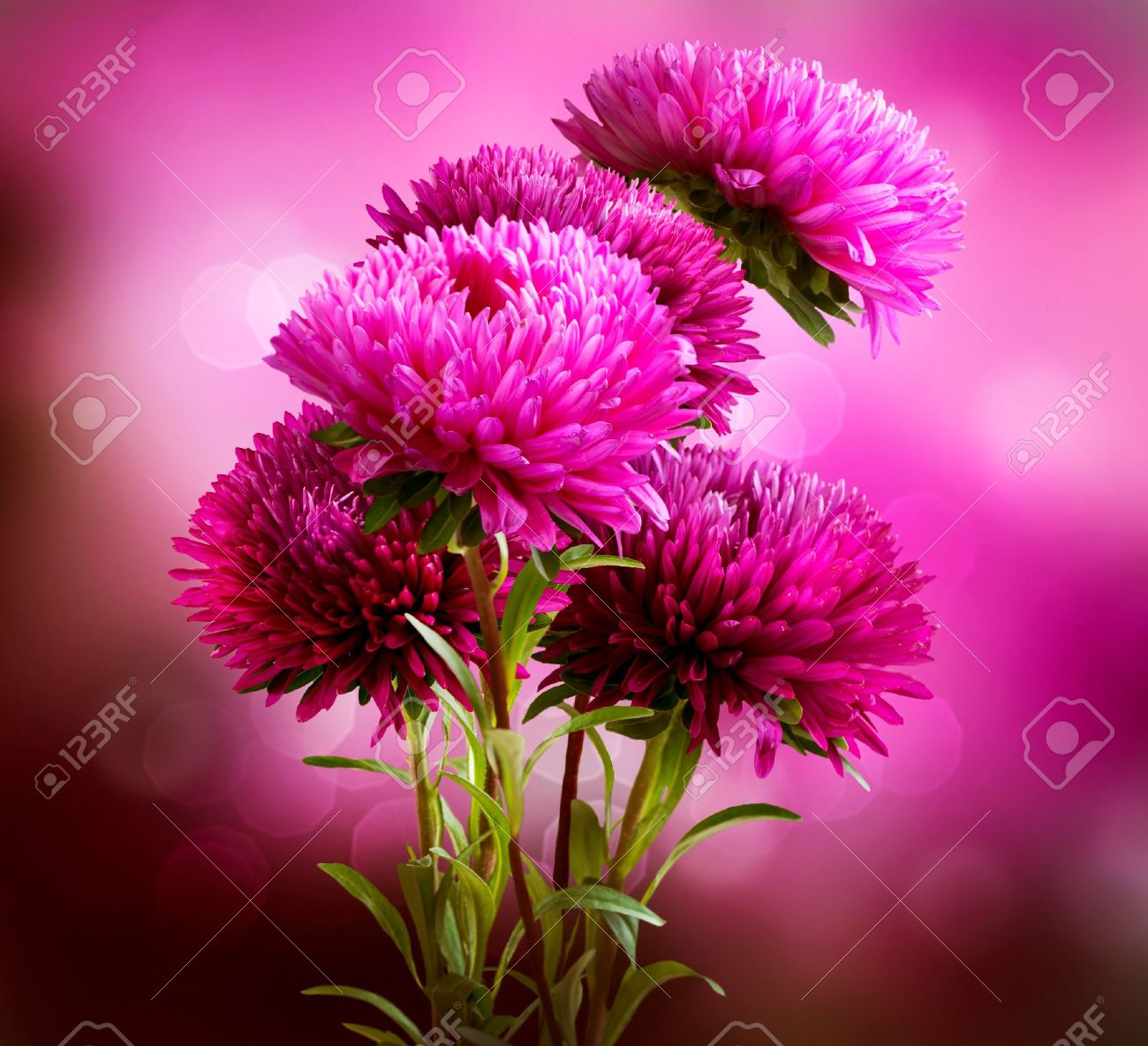 aster flower stock photos images. royalty free aster flower images, Beautiful flower