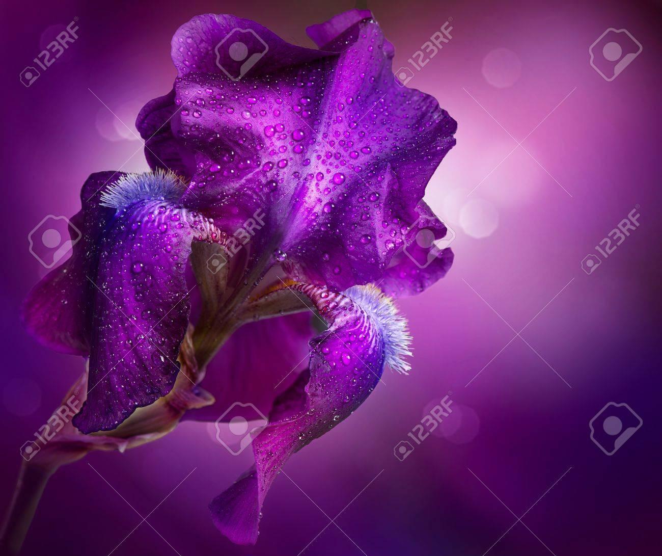 Iris Blumen Kunst Design Schone Violette Blume Lizenzfreie Fotos Bilder Und Stock Fotografie Image 19978913