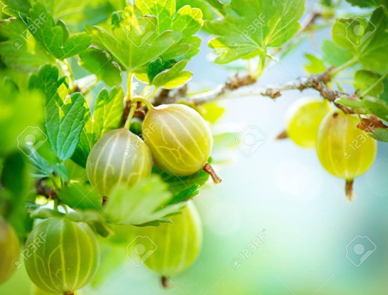 Gooseberry  Fresh and Ripe Organic Gooseberries Growing Stock Photo - 20651039