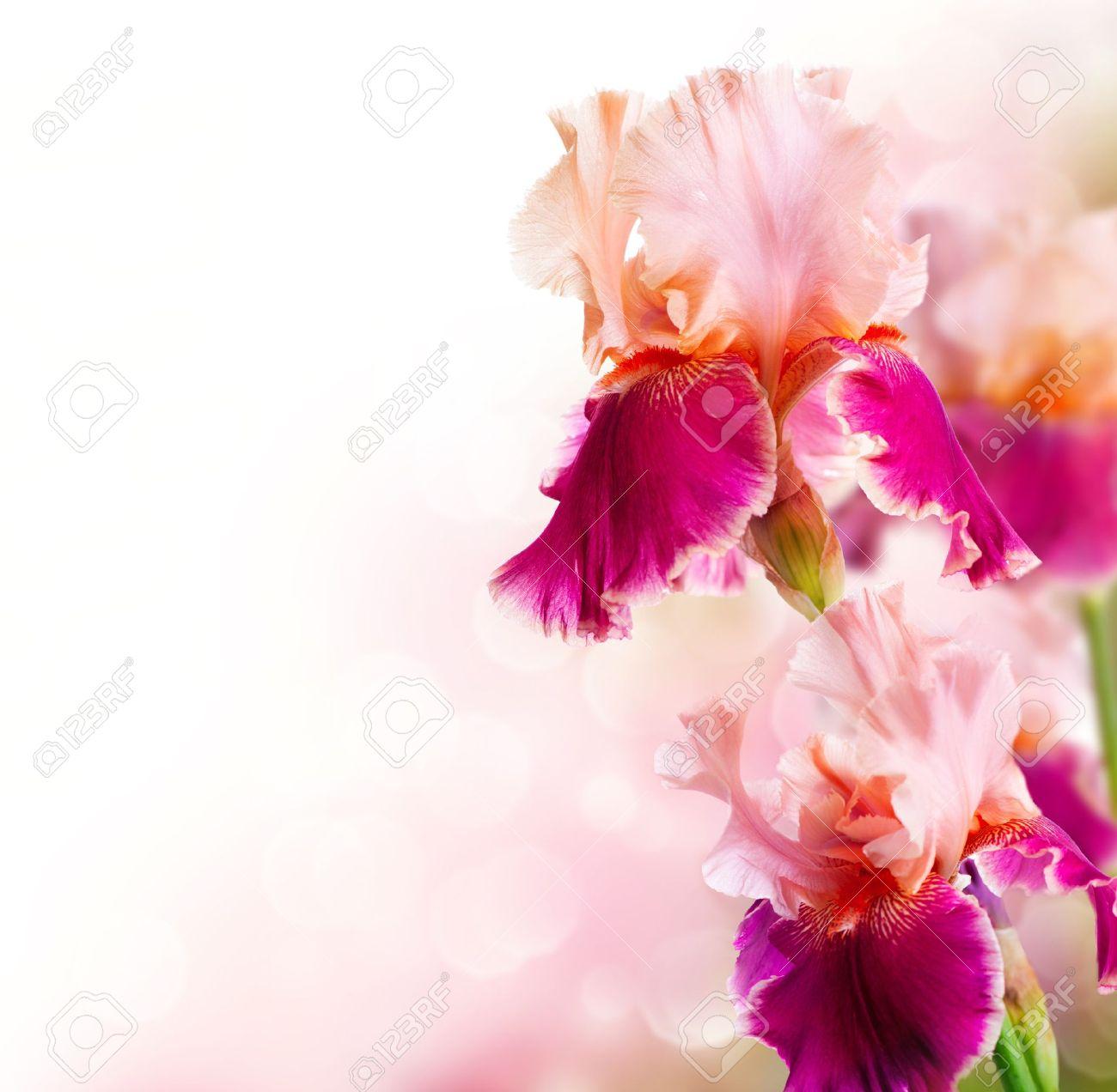 Iris Blumen Kunst Design Schone Blume Lizenzfreie Fotos Bilder Und Stock Fotografie Image 20783996