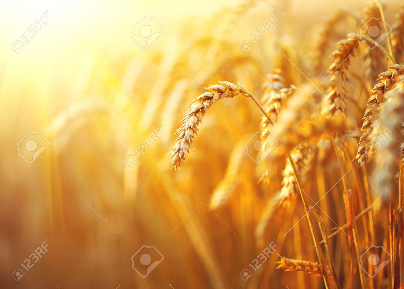 Wheat field. Ears of golden wheat closeup. Rural scenery under shining sunlight - 51140712