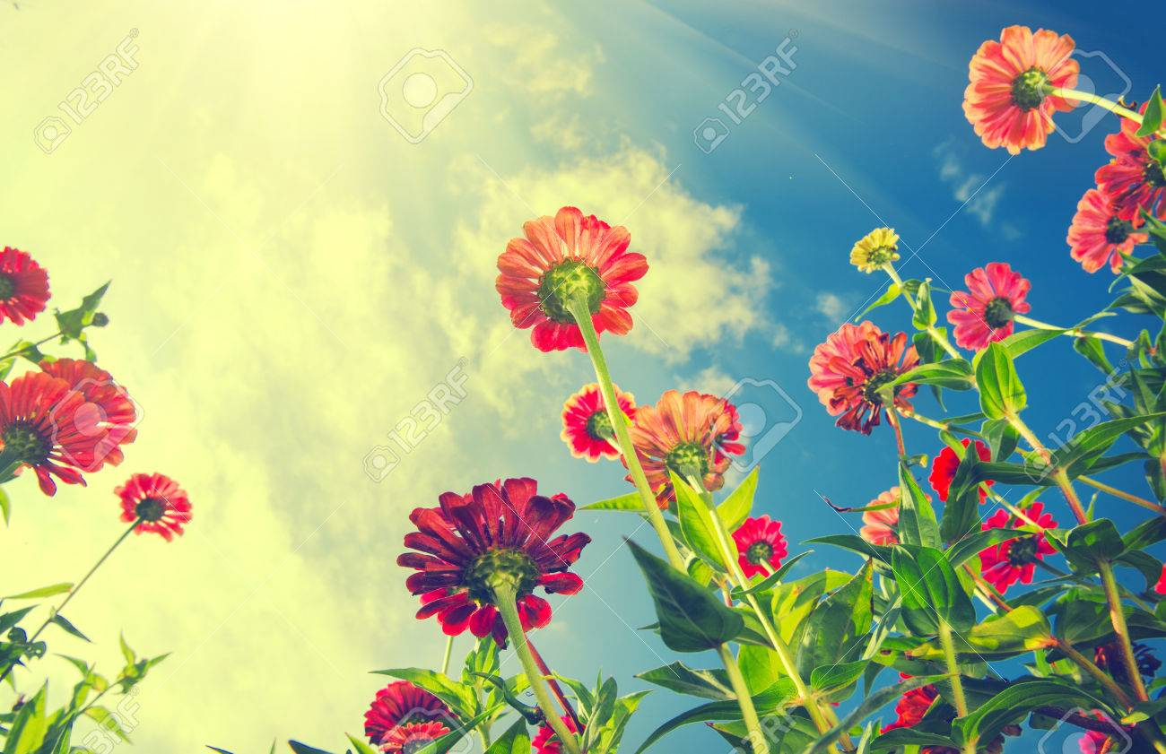 Autumn Flowers Over Blue Sky Zinnia Flower Stock Photo Picture And
