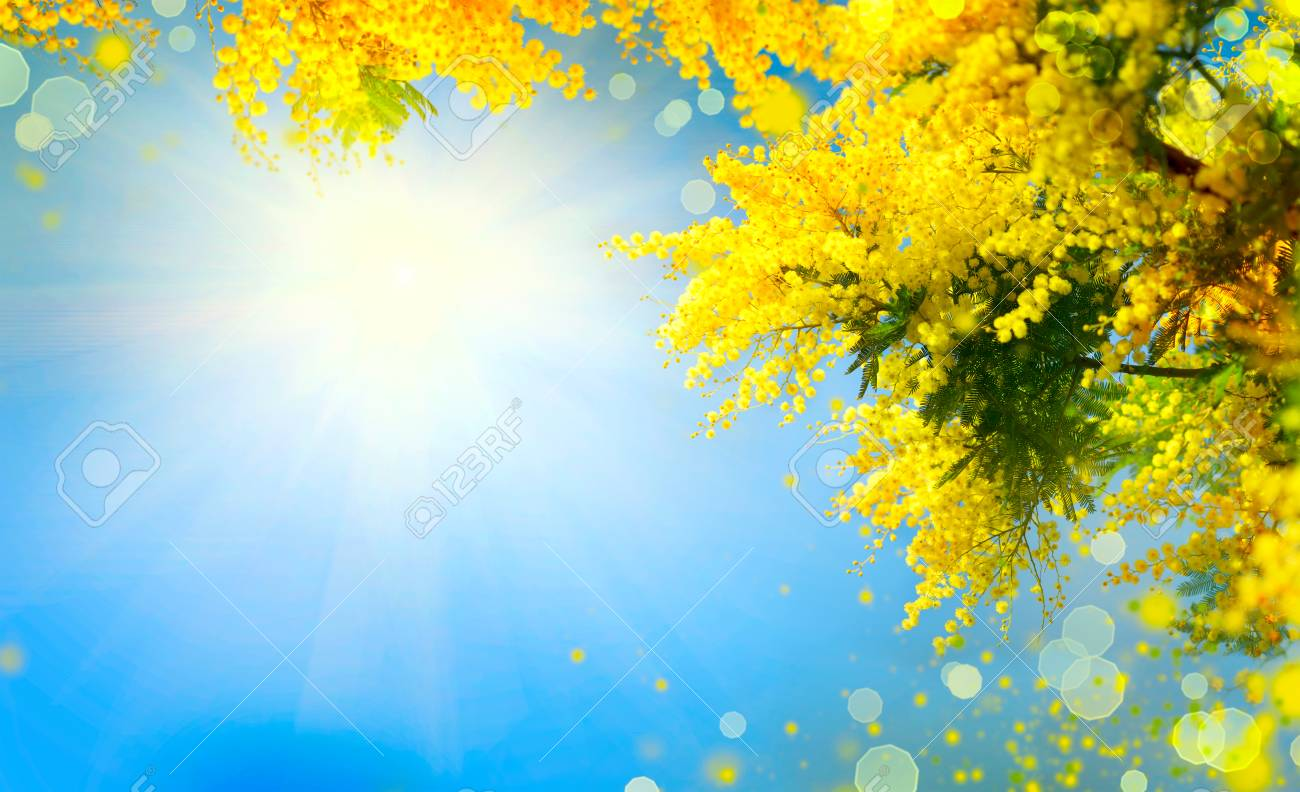 Mimosa. Spring Flowers Easter Background. Blooming Mimosa Tree ...