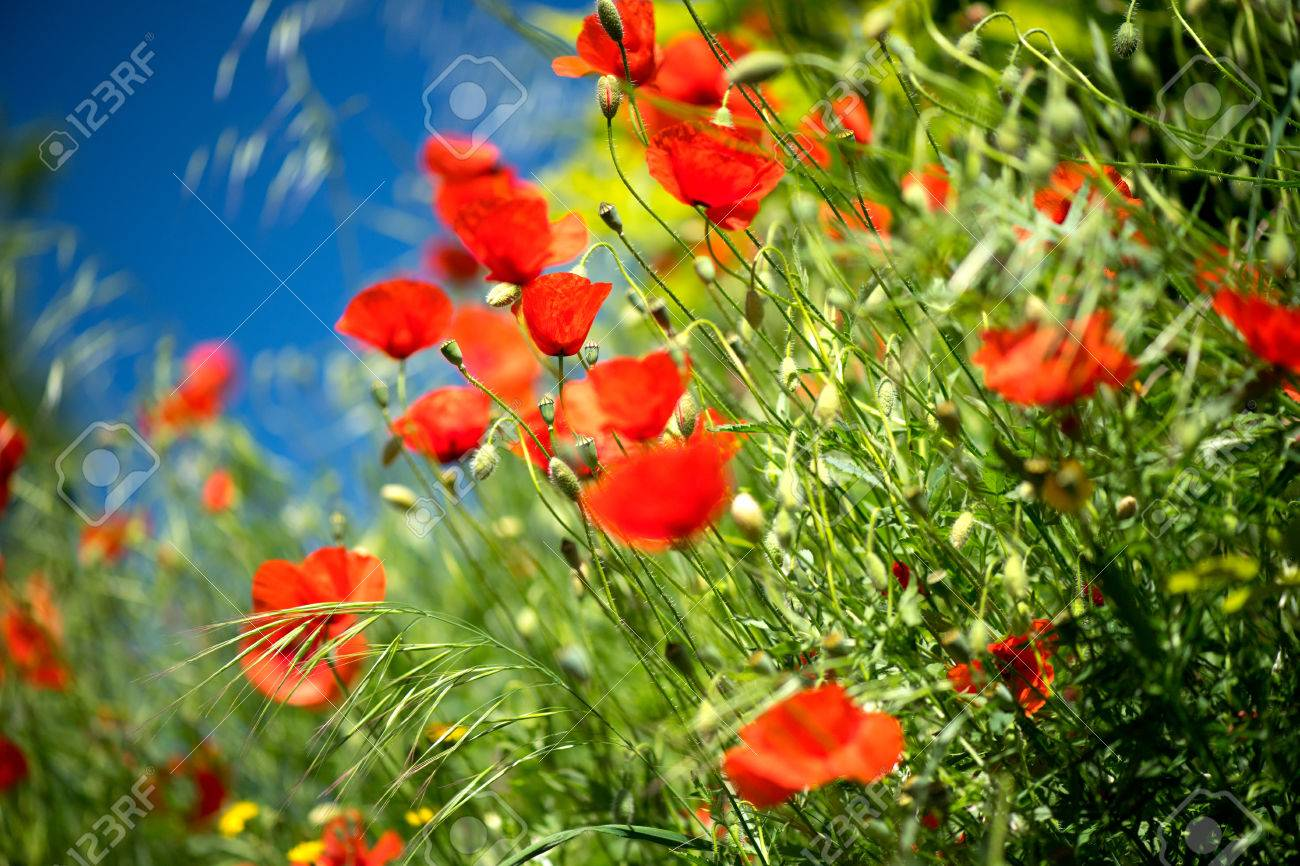 Poppy Flowers Field Nature Spring Background Blooming Poppies