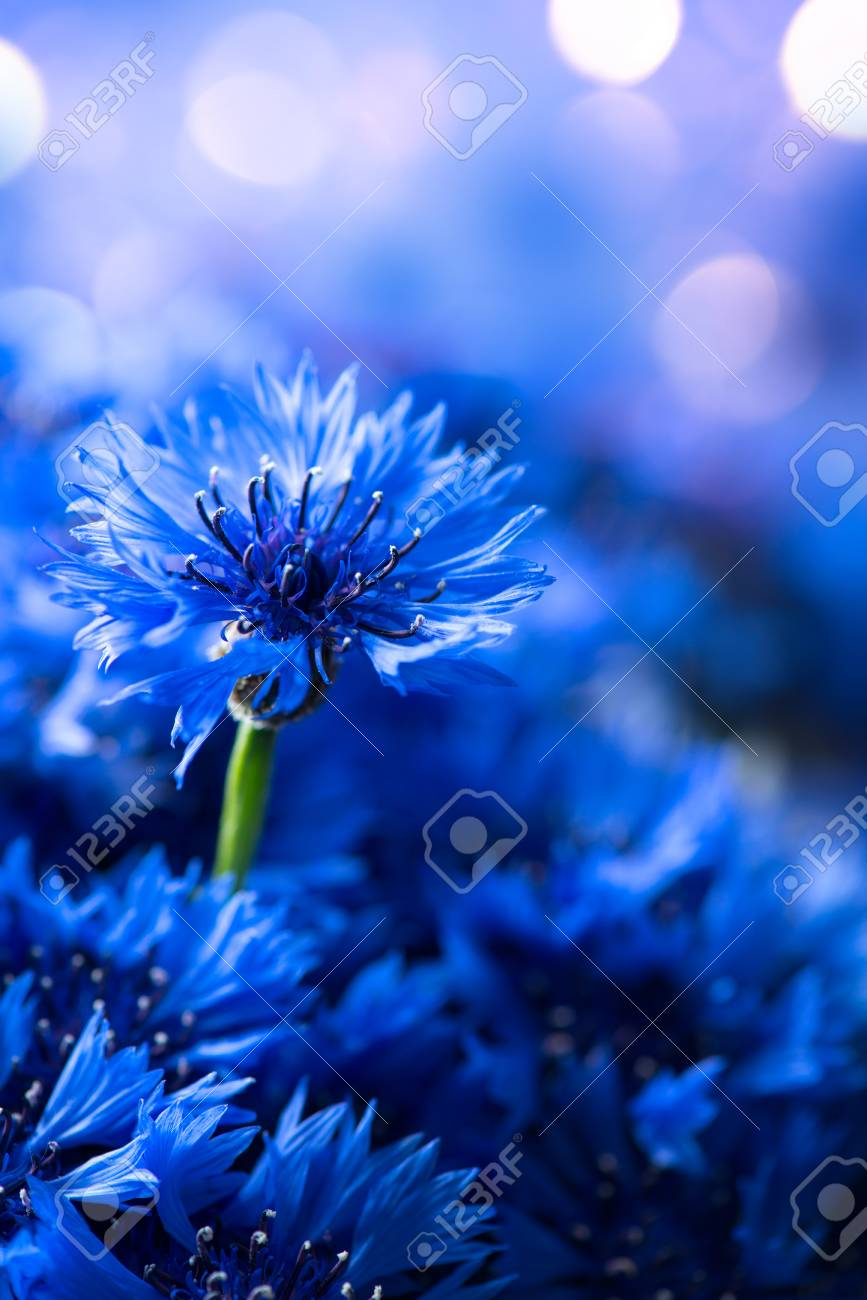 Cornflowers. Wild Blue Flowers Blooming. Border Art Design background. Closeup Image. Soft Focus - 80238023