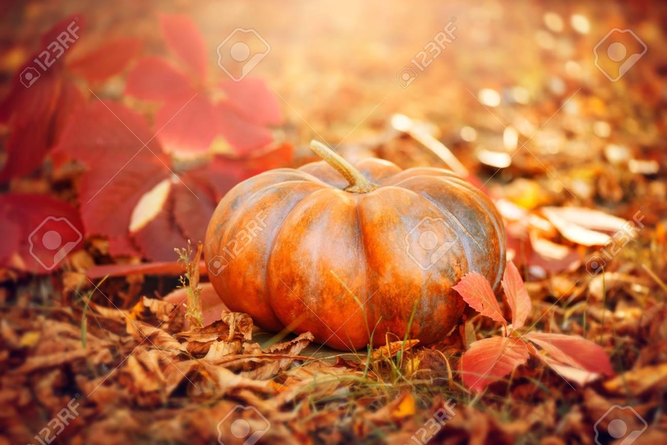 Halloween pumpkin. Thanksgiving day background. Orange pumpkin over bright autumnal nature background - 84110219
