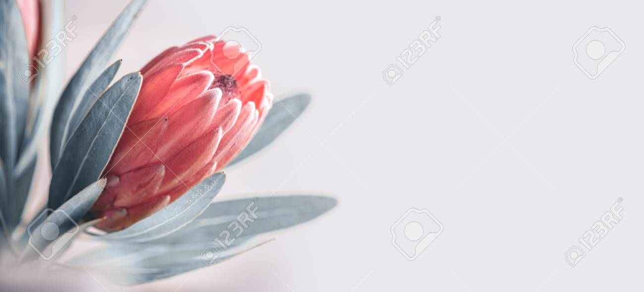 Protea bud closeup. Pink King Protea flower isolated on grey background. Beautiful fashion flower macro shot. - 115942790