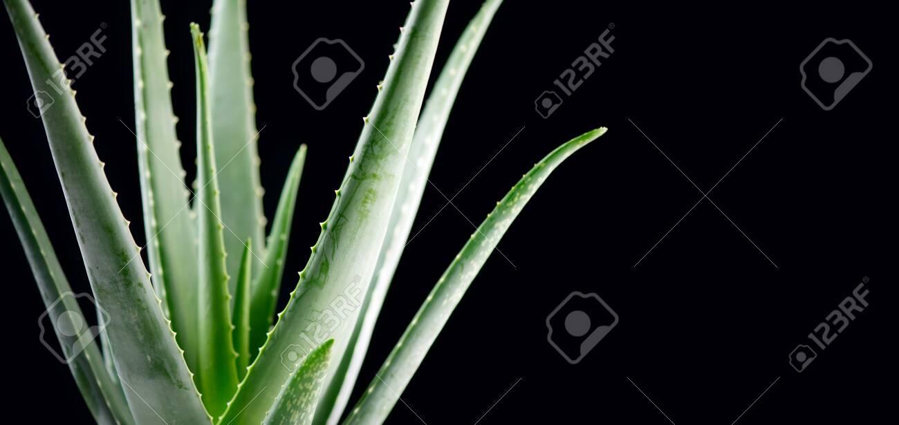 Aloe Vera closeup. Aloevera plant on black background. Natural organic renewal cosmetics, alternative medicine. Skincare concept - 123110106
