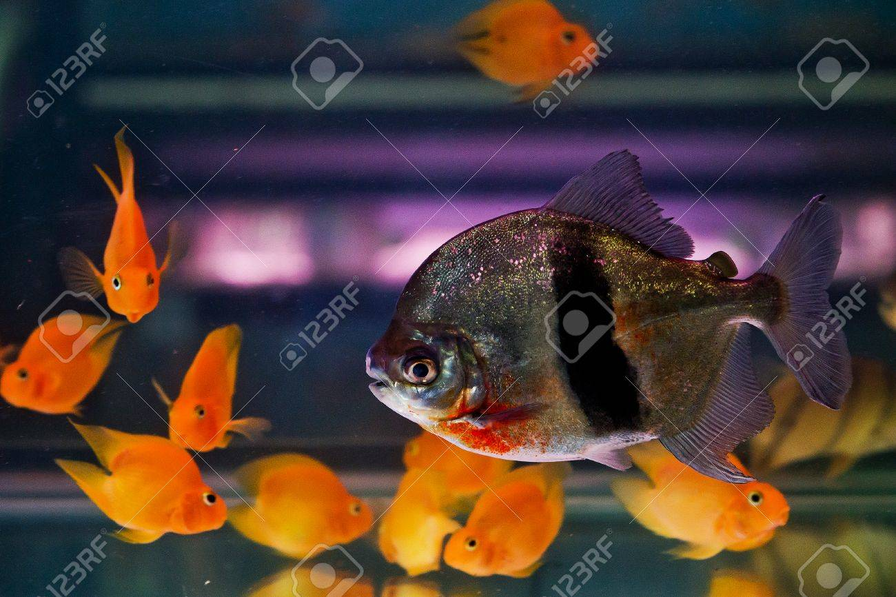 Freshwater aquarium fish piranha - Shoal Of Tropical Piranha Fishes In Freshwater Aquarium Stock Photo 23575598