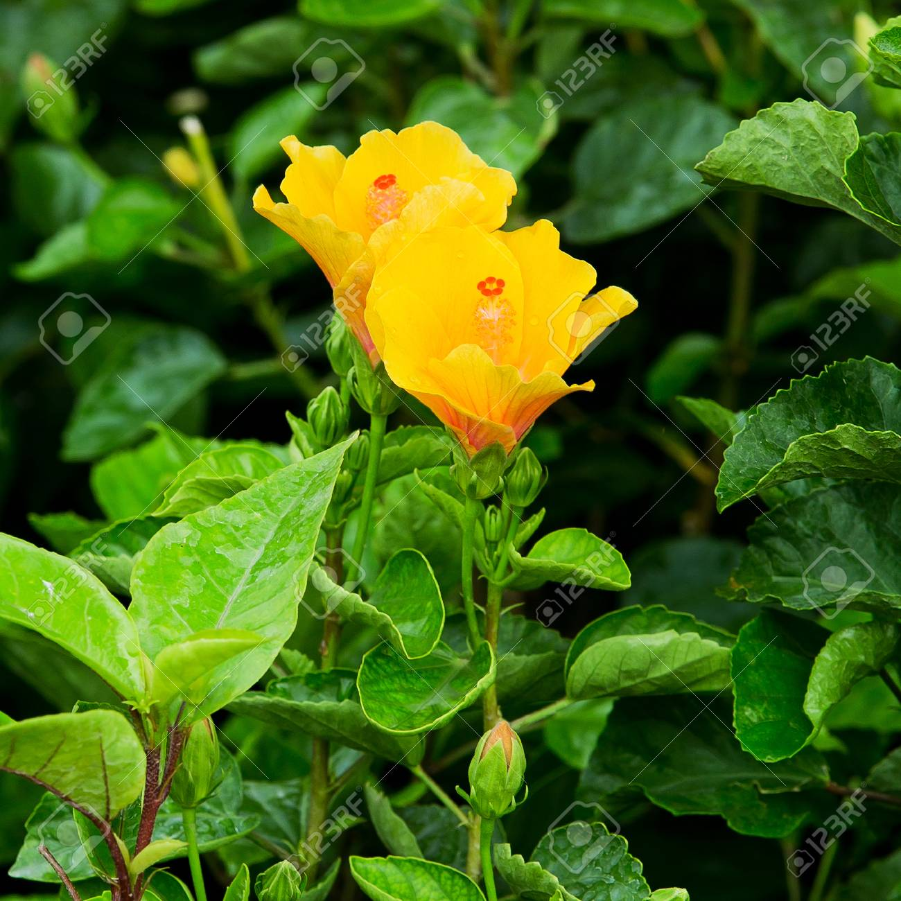 Yellow Hibiscus Flower On Tree In The Garden Stock Photo Picture