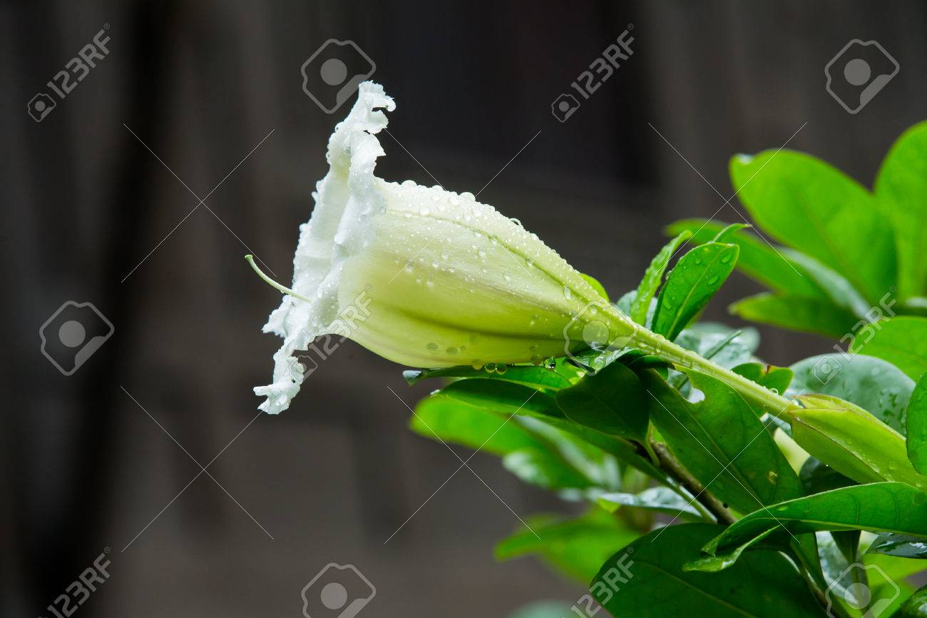 White angels trumpets flower in the garden stock photo picture and white angels trumpets flower in the garden stock photo 70865250 mightylinksfo