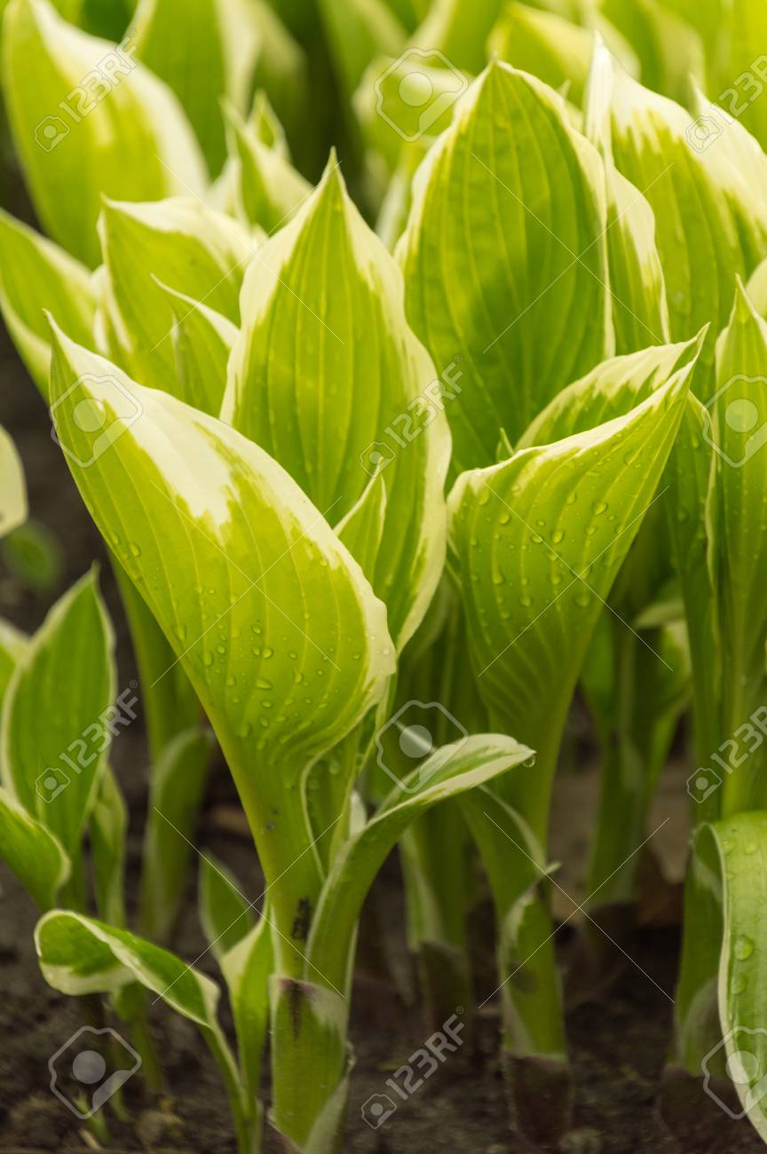 Variegated Hosta Leaves Closeup In A Natural Background Stock Photo