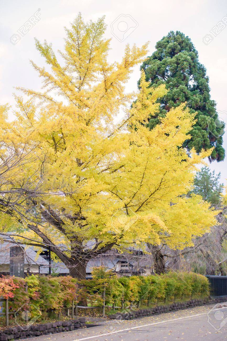 A Ginko Tree With Yellow Leaves In Japan