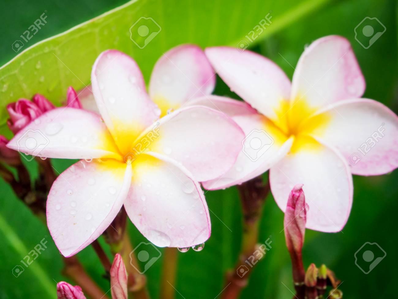 Pink plumeria flower with rain drop on tree stock photo picture and pink plumeria flower with rain drop on tree stock photo 57270375 mightylinksfo