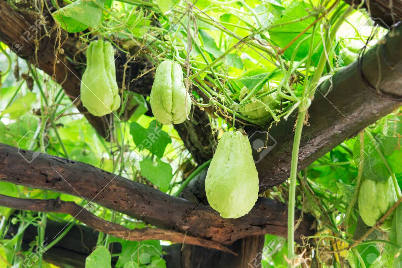 fresh chayote vegetable growing on the roof in organic farm stock