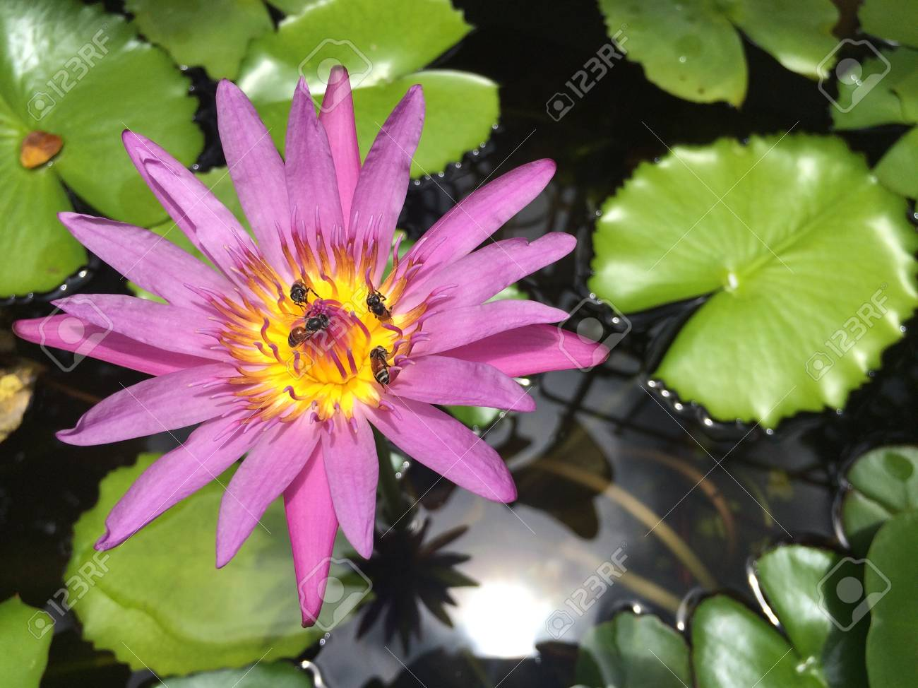 Lotus Flower In Pond Beautiful Water Lily Lotus Flower And Leaves