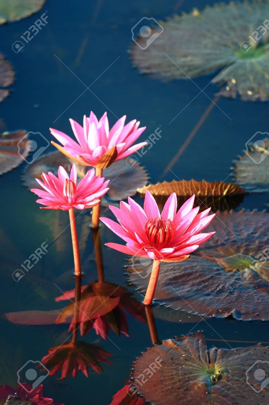 Red lotus Stock Photo - 13579827