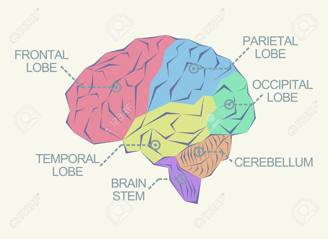Anatomía Del Cerebro Como Ilustración Abstracta Ilustraciones ...