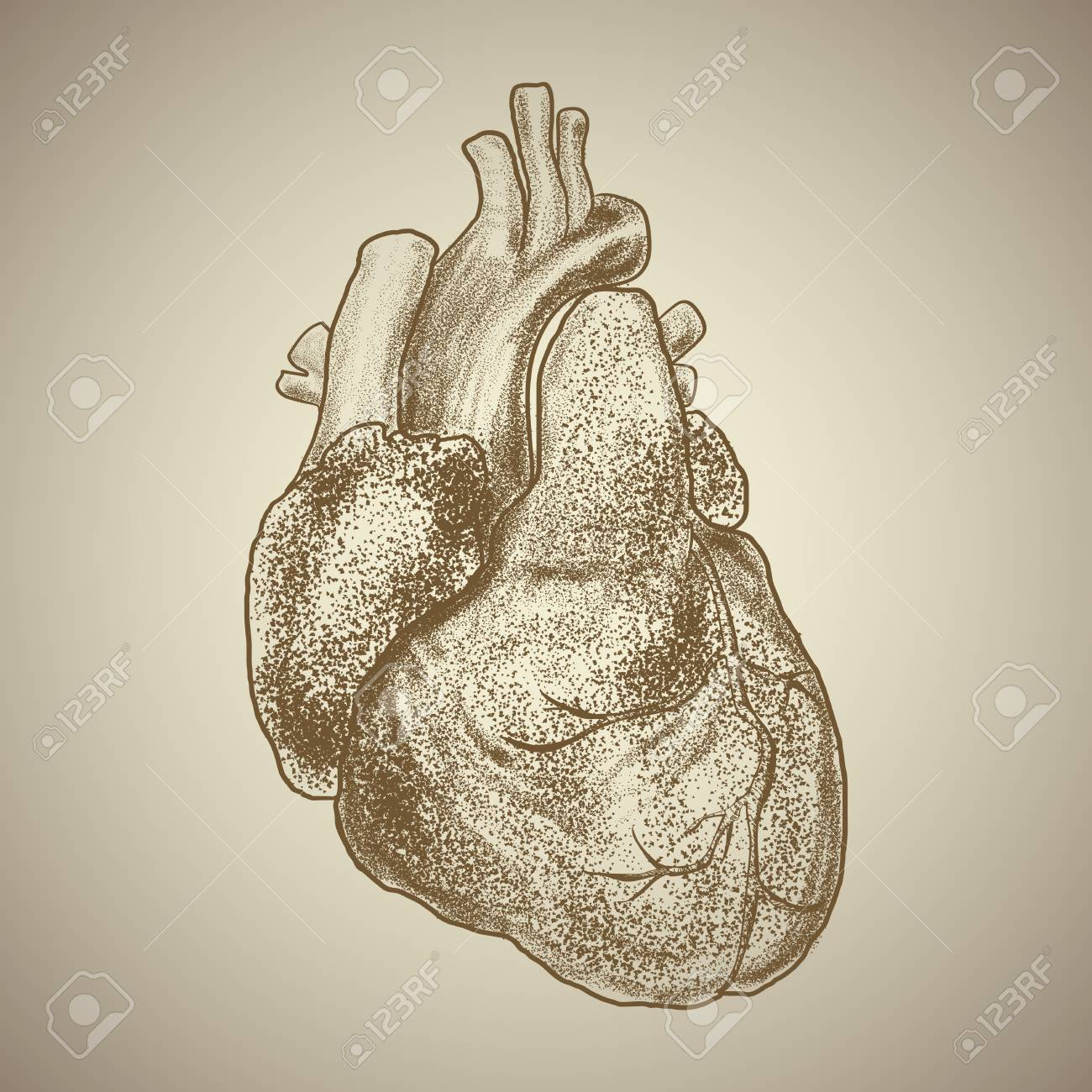 Human Heart. Exterior Appearance With Vessels And Other Anatomical Elements  Stock Vector   84445533