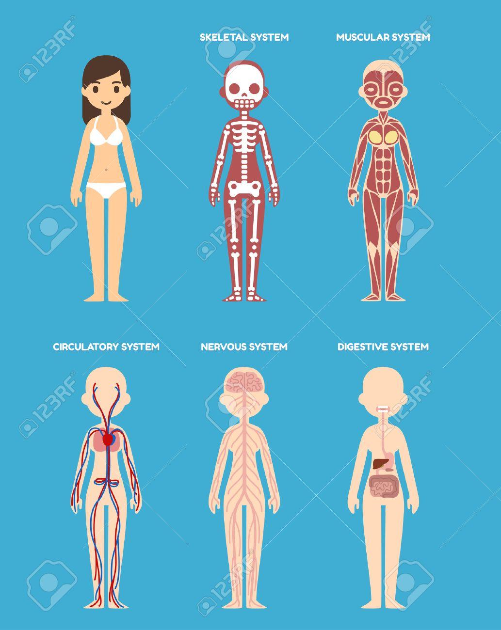 Stylized Female Body Anatomy Chart: Skeletal, Muscular, Circulatory ...