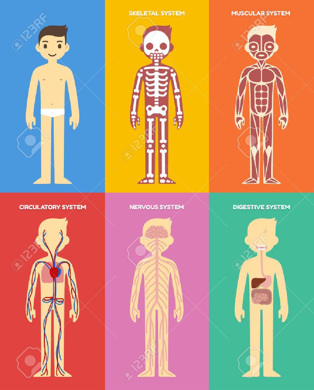 stylized human body anatomy chart: skeletal, muscular, circulatory, Muscles