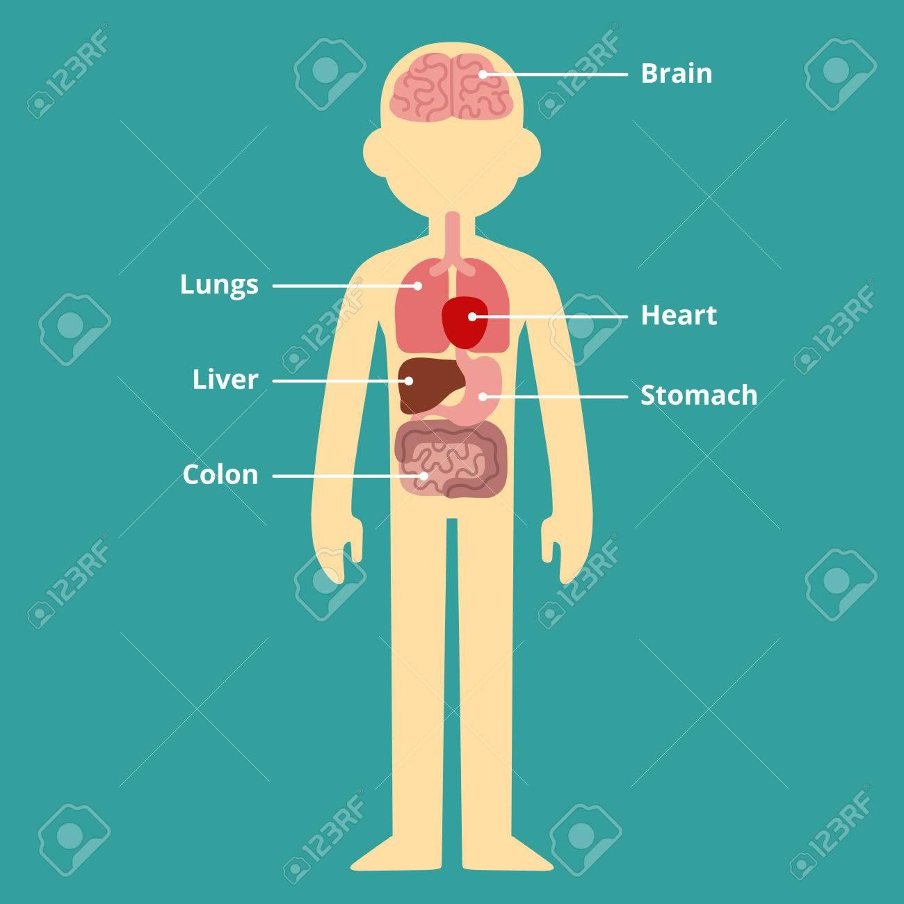 Diagrama Interno Humano Infografía órgano Con Leyendas De Texto ...