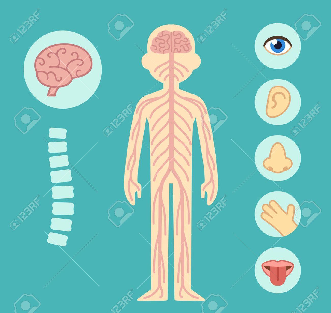 Nervous System Infographic Chart Elements Nerves Spine Brain