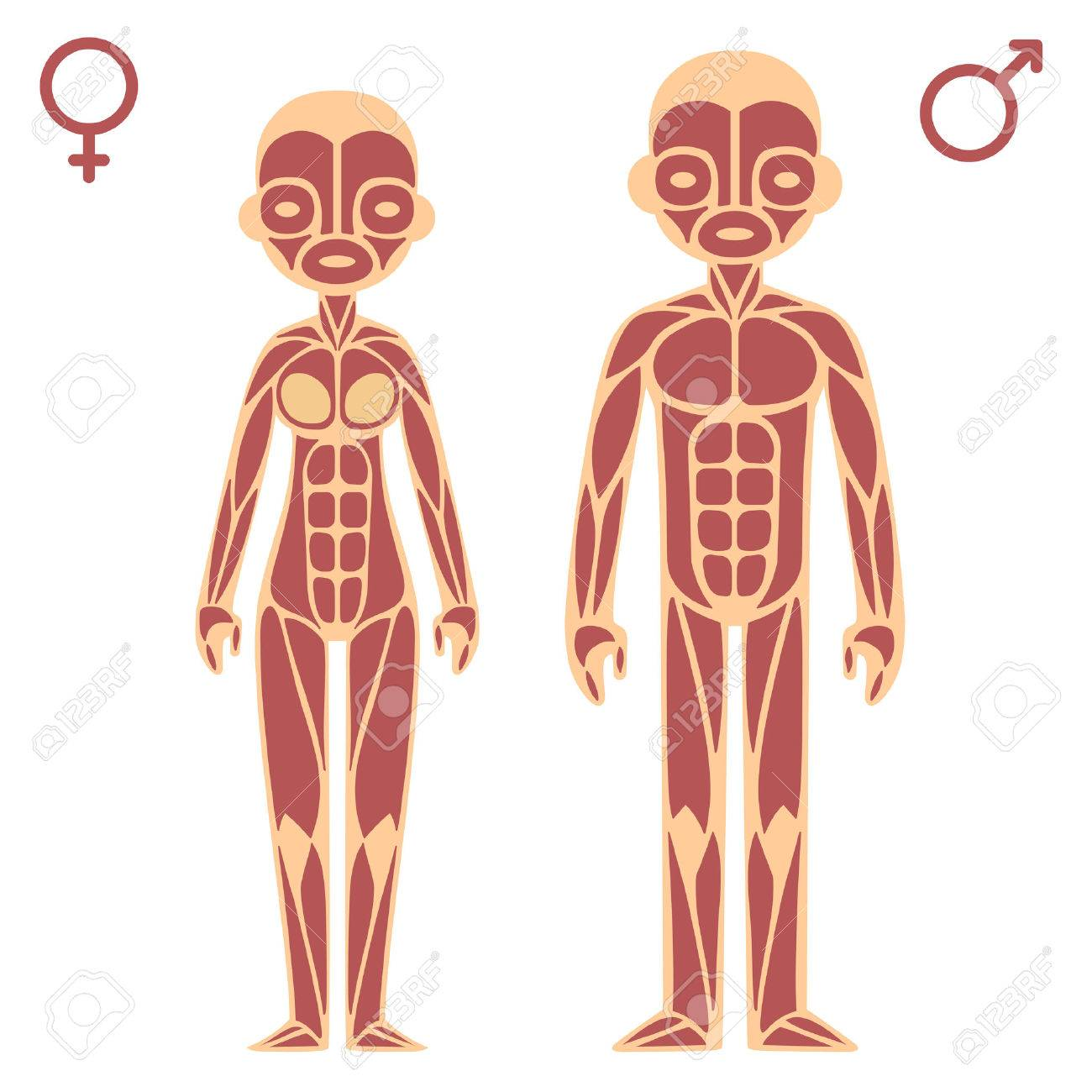 Male And Female Muscle Chart Royalty Free Cliparts, Vectors, And ...