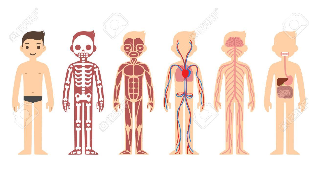 Diagrama De Anatomía Ilustraciones Vectoriales, Clip Art Vectorizado ...