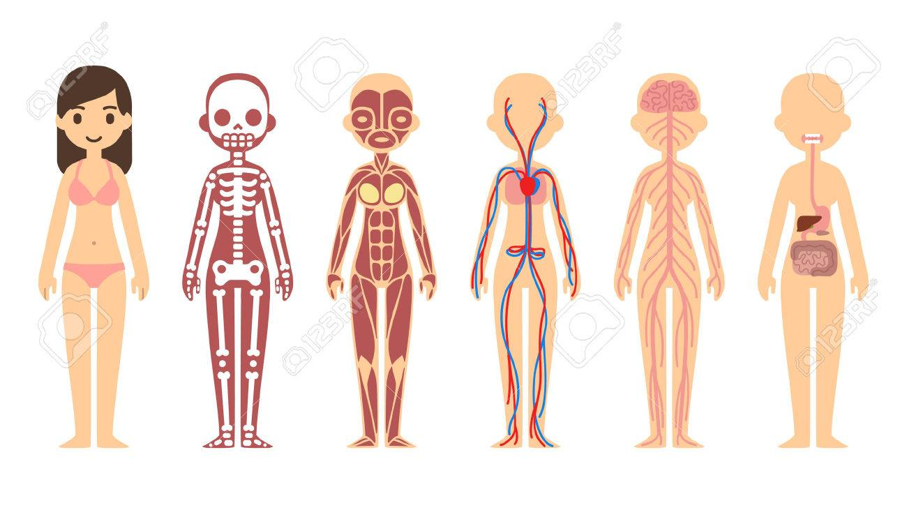 Stylized Female Body Anatomy Chart Skeletal Muscular Circulatory