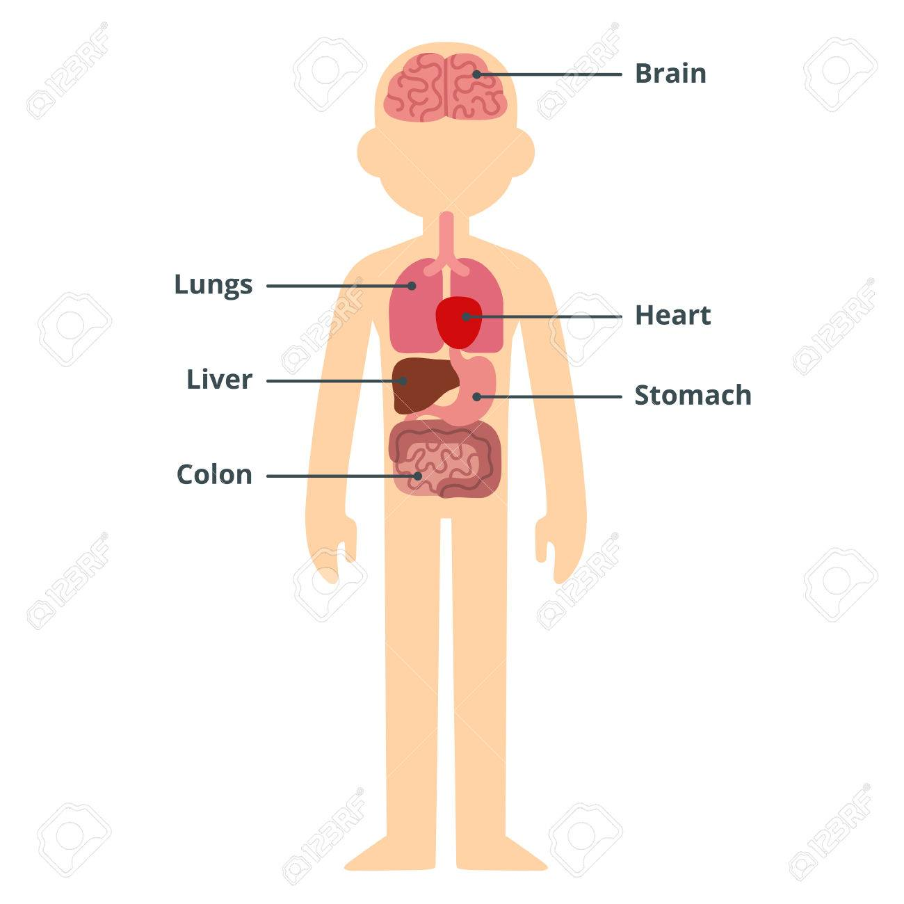Human Internal Organ Infographic Chart With Text Captions. Royalty ...
