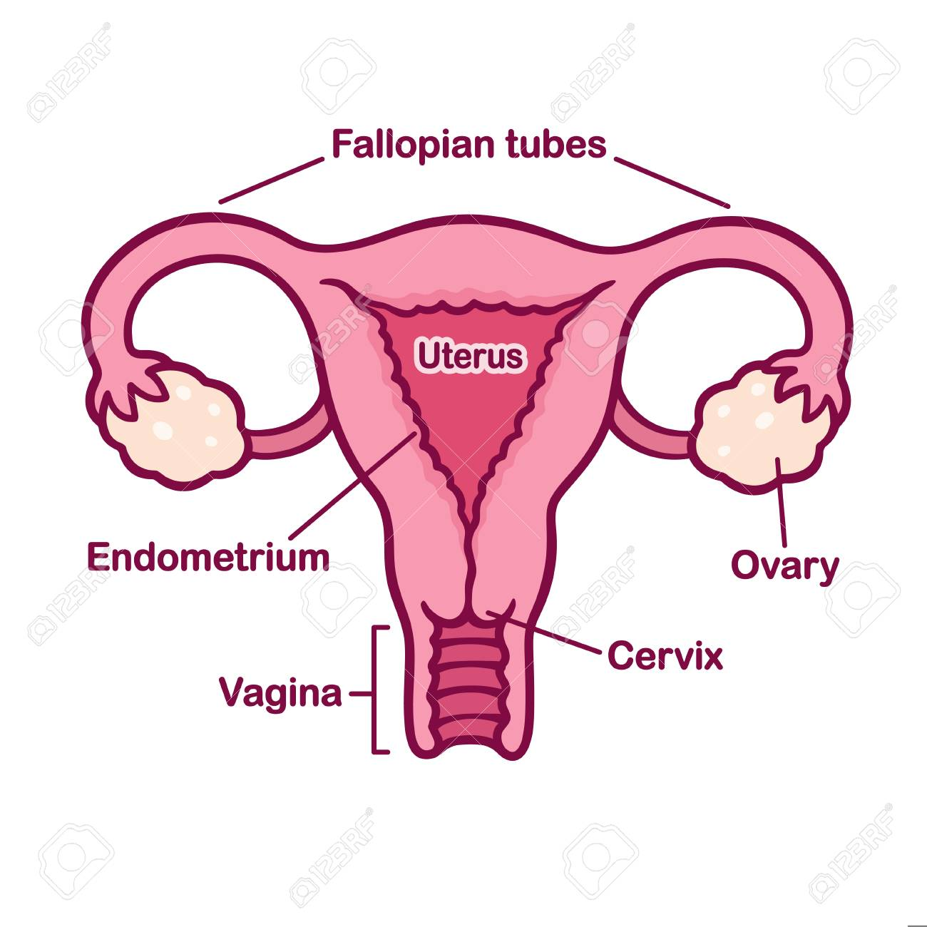 Hand Drawn Female Reproductive System Anatomy Chart Uterus And