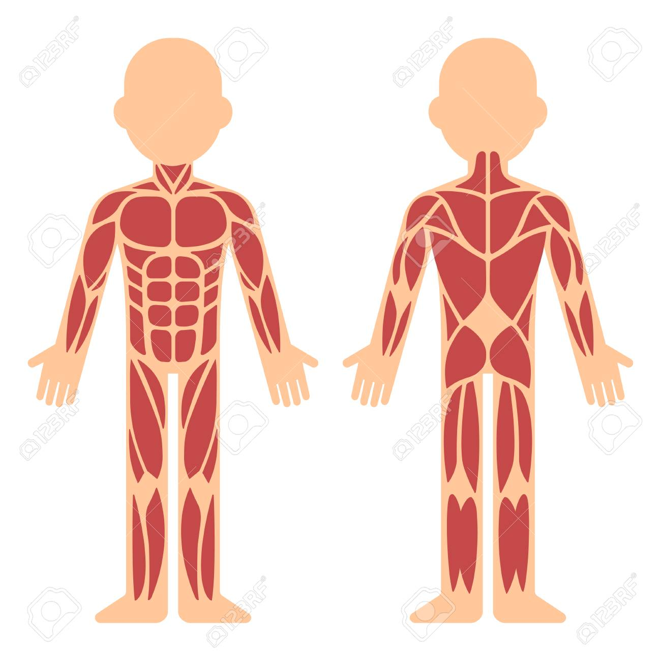 Stylized muscle anatomy chart, front and back. Male body major muscles, flat cartoon vector style infographic illustration. - 93802211