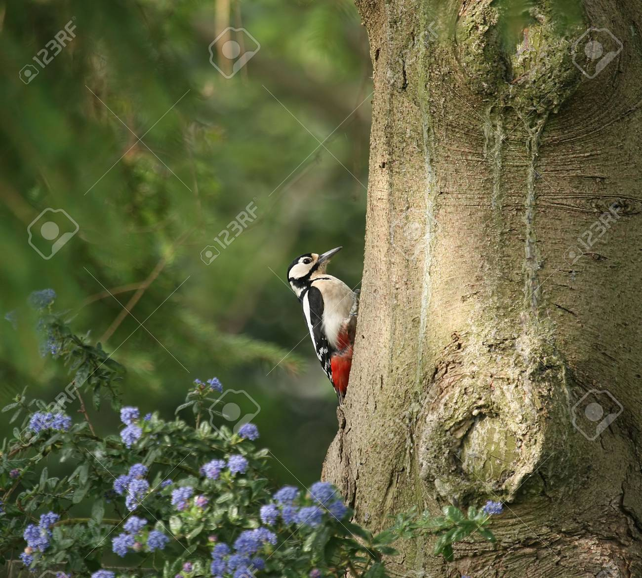 Great Spotted Woodpecker Stock Photo - 5364477