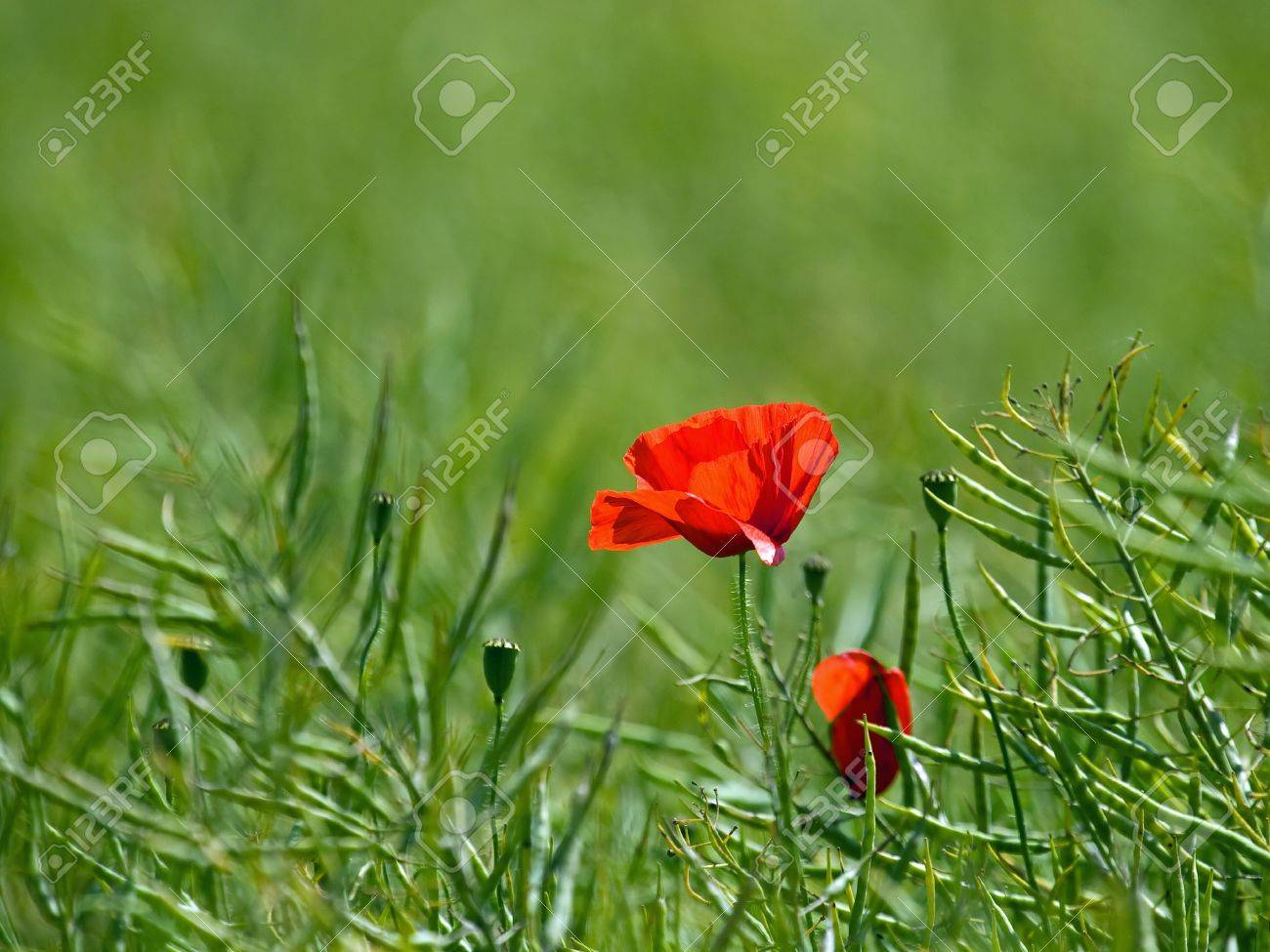 Red field poppy symbol of remembrancer the servicemen and red field poppy symbol of remembrancer the servicemen and women lost during wartime biocorpaavc Images