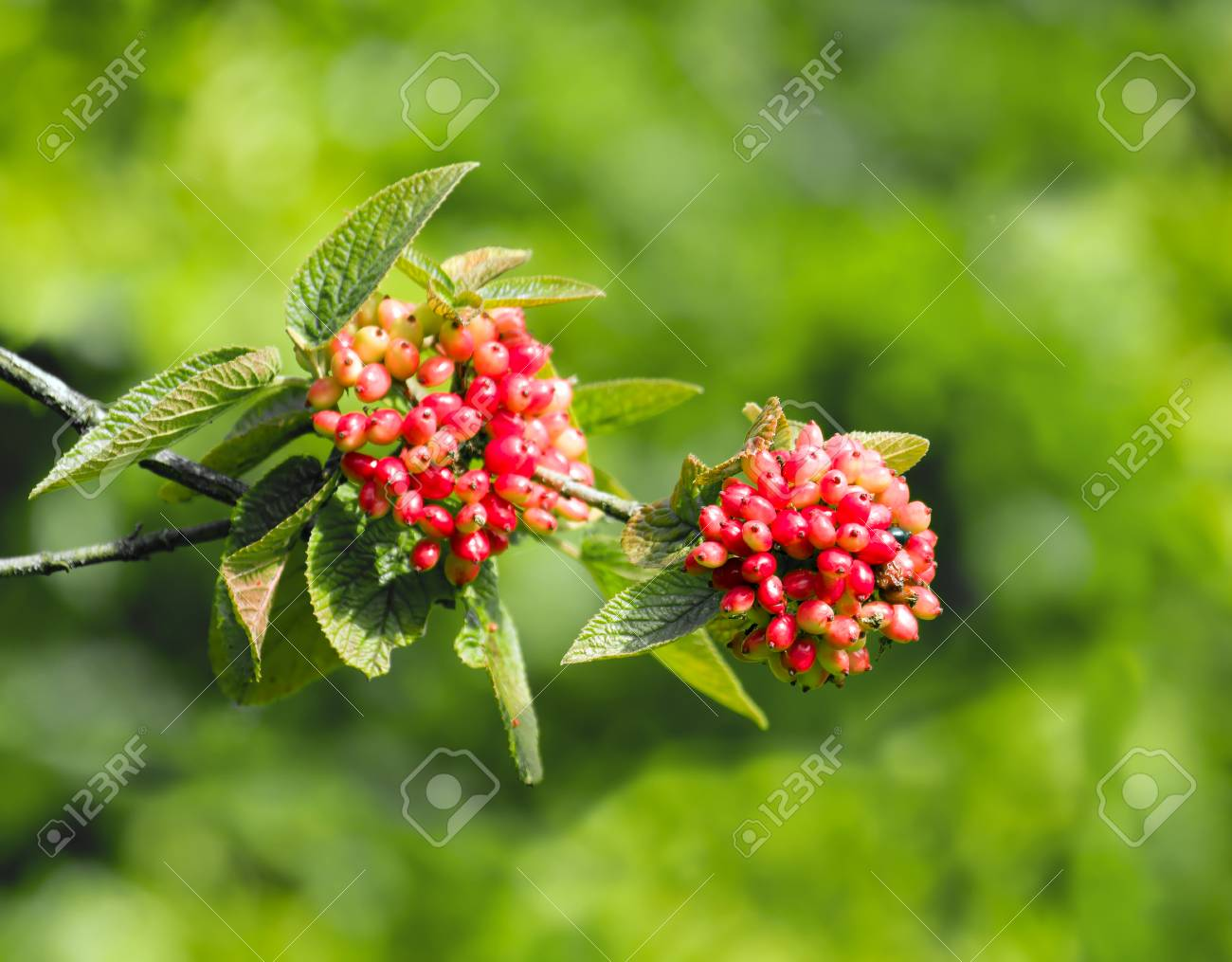 Fruiting wild Guelder Rose in English countryside, showing berries