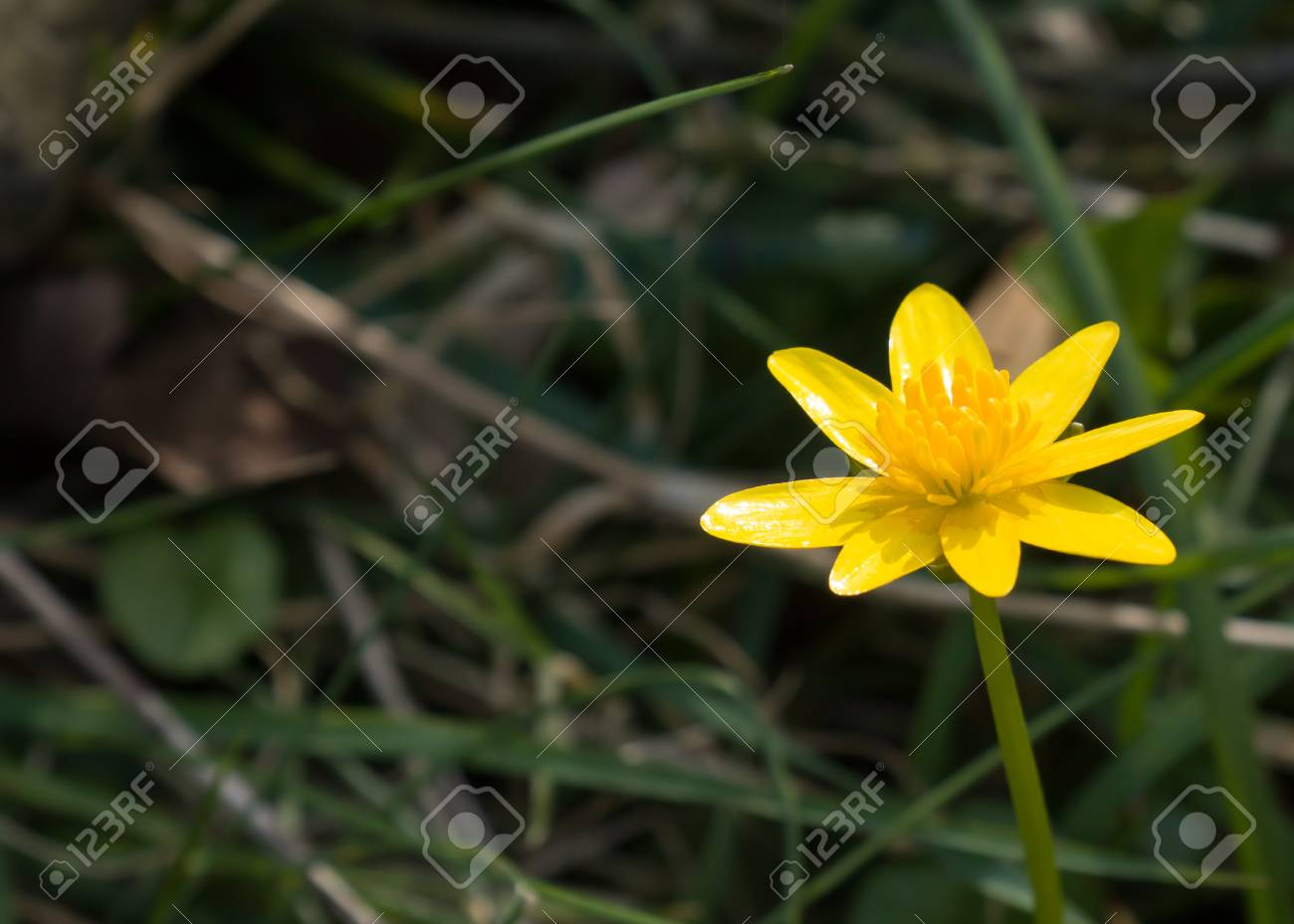 Yellow Lesser Celandine Flower In English Countryside With Space