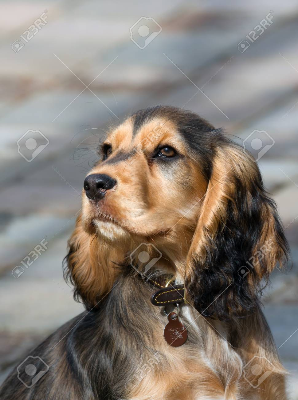 Sable Coloured Female English Show Cocker Spaniel Puppy Aged Stock Photo Picture And Royalty Free Image Image 75846387