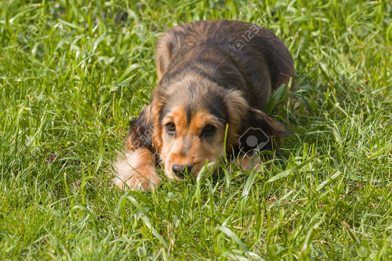 Sable Coloured English Show Cocker Spaniel Puppy Lying On Grass Stock Photo Picture And Royalty Free Image Image 76919733