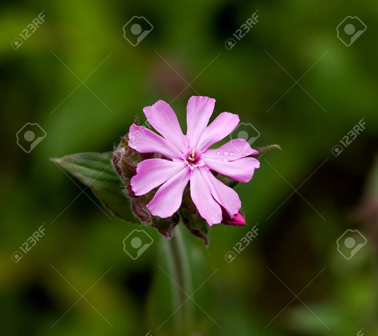 Wild Flower Pink Red Campion Detail Against Green Background Stock