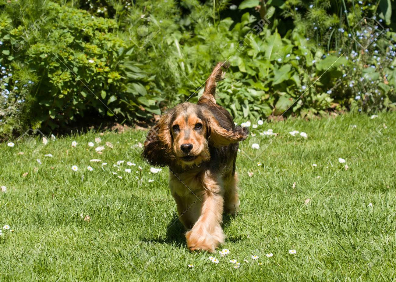 Six Month Old Sable Coloured English Show Cocker Spaniel Puppy Stock Photo Picture And Royalty Free Image Image 79246064